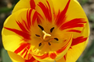http://www.totallytownies.com/2011/05/we-love-tulips/